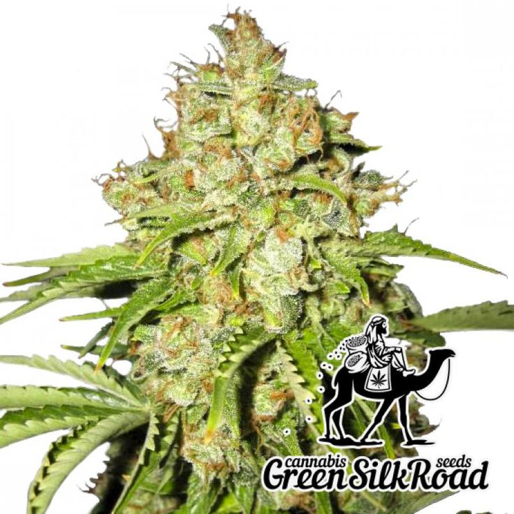 White Russian Feminised is a bright descendant of AK-47 which inherited the ability to produce high-quality resin with the THC content of more than 20%. Its undemanding plants are very compact and do not exceed 130 cm even in comfortable conditions, which allows you to cultivate them with any convenient method. The productivity of the hybrid is beyond any praise: in addition to the luxurious citrus flavor, you can be sure to get more than 500 grams of high-quality product per 1 m² growing…