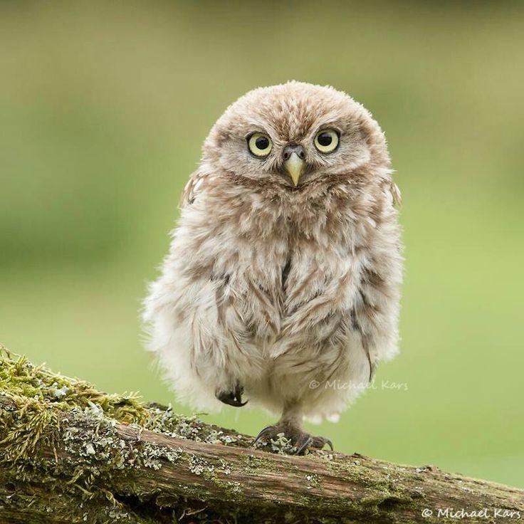 little fuzzy owl s sse tiere pinterest eule gruss dich und s e tiere. Black Bedroom Furniture Sets. Home Design Ideas