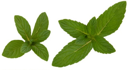 #SPEARMINT  Used in ancients times to scent bath water, heal sore gums and whiten teeth, this light, minty oil has an uplifting aroma.  Its leaves leaves are often steeped in tea as an herbal remedy for heartburn, nausea and digestive ailments.