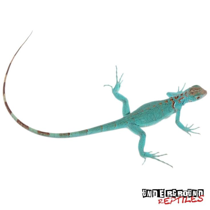 Baby Blue Axanthic Iguanas For Sale