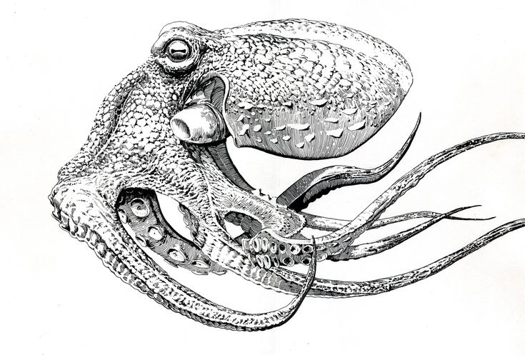 Octopus Tentacles Drawing | Octopus To Draw