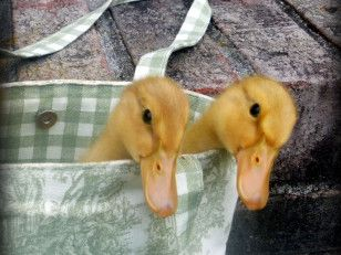 Ducks, the new chicken? This is a cool article on how to raise ducklings, apparently they are better than having chickens, worth investigating!