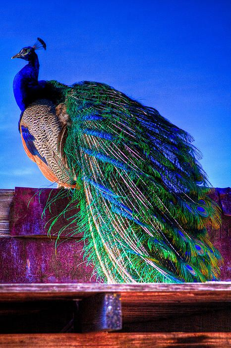 """Peacock Birds or Peafowl are 2 Asiatic & 1 African species of flying bird in the genus Pavo of the pheasant family, Phasianidae, best known for the male's extravagant eye-spotted tail covert feathers, which it displays as part of courtship. The male is called a peacock, the female a peahen, and the offspring pea chicks. Peachicks can be between yellow and a tawny colour with darker brown patches or light tan and ivory, also referred to as """"dirty white"""". Peacocks."""