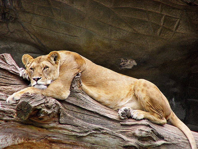 Tired lioness by Tambako the Jaguar, via Flickr    She looks grumpy.