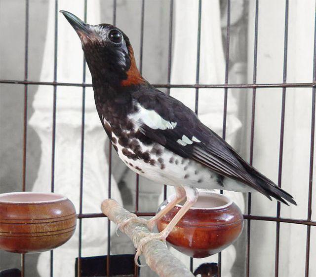 Gambar Burung Anis Kembang