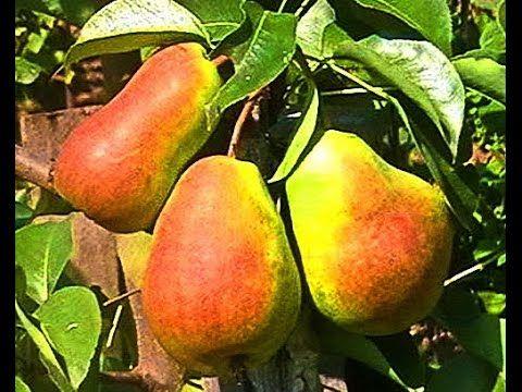 Груша дерево  Pear tree