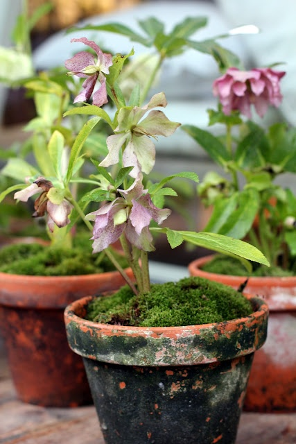such mossy pots...with hellebores growing in them!