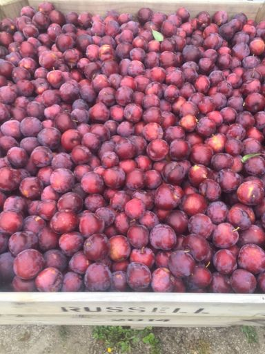 Russells Plums - Fresh from Hawke's Bay