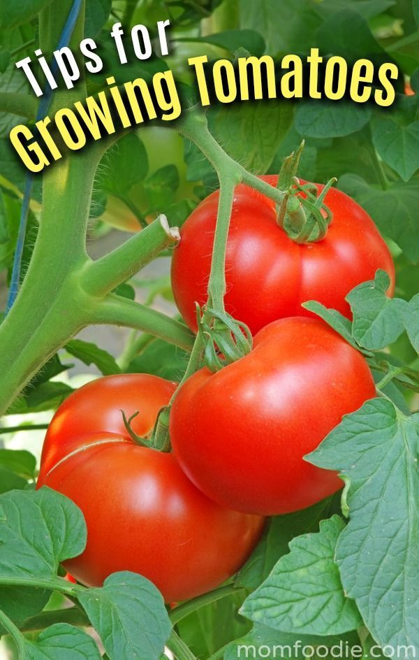 Tomato Growing Tips Have A Successful Tomato Garden This Year