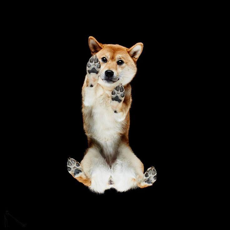 Σύμφωνα με τον φωτογράφο μερικά σκυλιά «κοκαλώνουν» μόλις ανέβουν στη γυάλινη επιφάνεια-Ο λιθουανός φωτογράφος Αντριους Μπούρμπα είχε την τρελή ιδέα να φωτογραφίσει σκύλους, γάτες, κουνέλια και άλογα ανάποδα, τοποθετώντας τα πάνω σε ένα μεγάλο γυάλινο τραπέζι. Στις κωμικές αλλά ταυτόχρονα καλλιτεχνικές φωτογραφίες του βλέπουμε μια ασυνήθιστη όψη των αγαπημένων μας ζώων: μουσούδες να κοιτάζουν με περιέργεια και χαριτωμένες πατούσες που φαίνονται σαν να μας αγγίζουν…