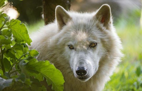 Обои арктический волк, волк, морда, взгляд картинки на рабочий стол, раздел животные - скачать
