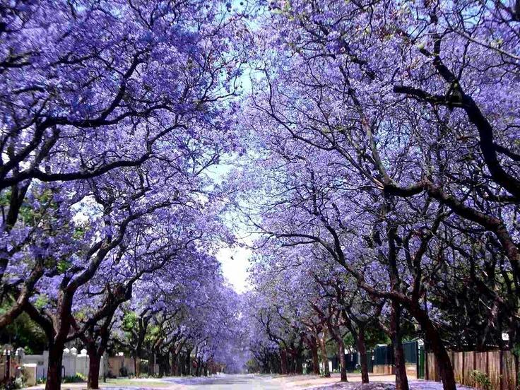 Jakaranda tree - South-Africa