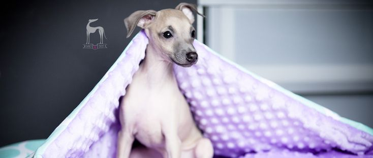 Italian greyhound puppy #charcikwłoski #puppy #sighthound