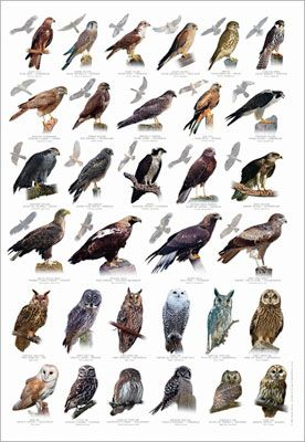 All diurnal birds of prey eat some type of animal flesh, including reptiles, insects, fish, birds, mammals, molluscs, and carrion