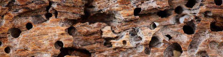 En CPD Plagas, somos especialistas en eliminar termitas, erradicándolas de manera eficaz y definitiva, mediante el empleo de nuestros cebos de celulosa, con los que conseguimos además evitar su reaparición con el paso del tiempo.