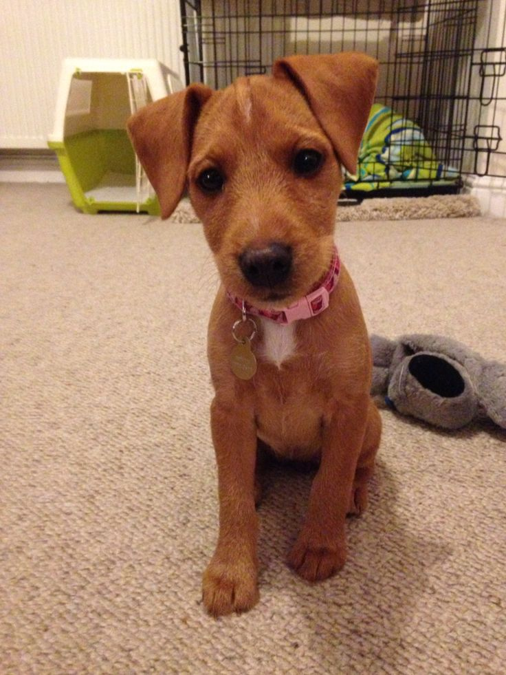 Honey the patterdale terrier puppy