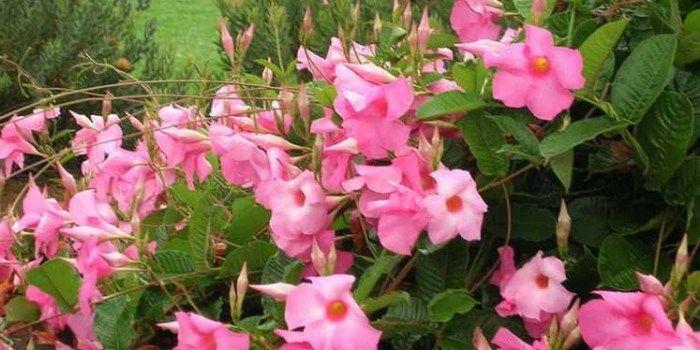 Bunga Cantik Mandevilla Tanaman Hias Merambat Terpopuler Tanaman Bunga Cantik Bunga