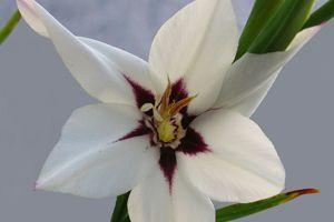 Fleur de glaïeul d'Abyssinie. Crédit: Peter Forster