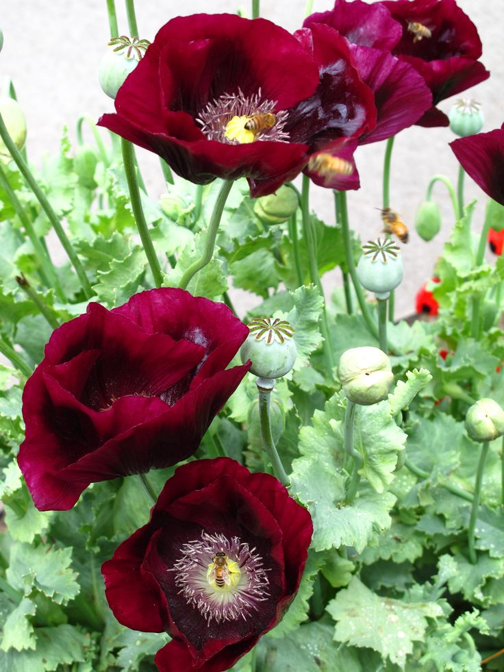 Poppies ~~ my favorite flower  mine too going to get a tattoo of one someday