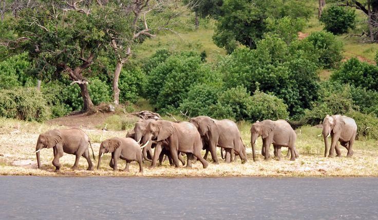 African elephants in Chobe, Botswana