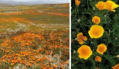 Die leuchtenden Blüten der Mohnblume machen diese Opioidpflanze zu einer Ikone. Die PL…