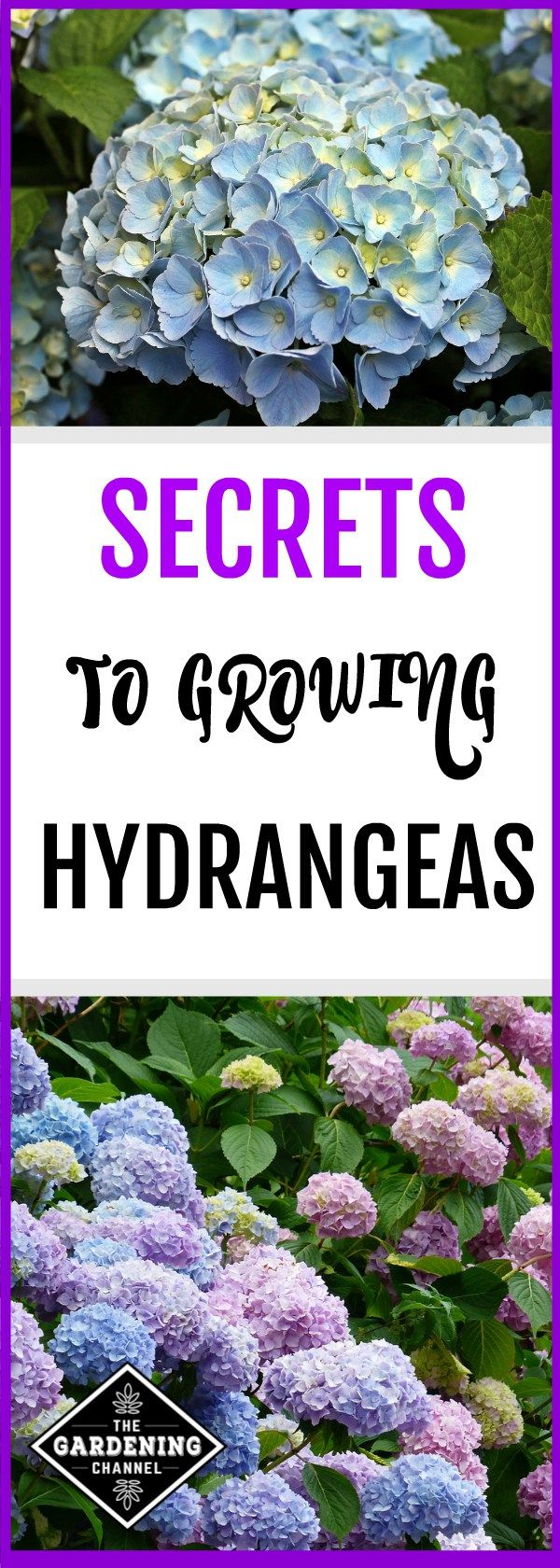 Learn growing tips for hydrangeas. With proper care, hydrangeas will grace your garden with large blooms for 30 plus years.