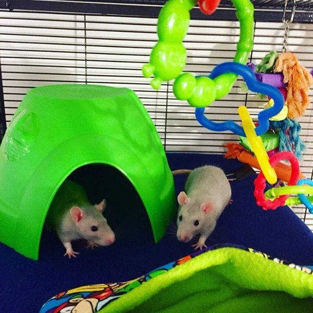 Our boys Saphyr & Pirate not so baby now, they grow up so fast  #brothers #guineapig #chinchilla #mouse #hamster  #gerbil #ferret #rabbit #rat #hedgehog  #rats #ratsofinstagram #hammock #guineapigsofinstagram #cavy #rodent #mice #animallovers #hamstersofinstagram  #etsyshop #etsyseller #petsofinstagram #handmadewithlove #handmade #rabbitsofinstagram #bunniesofinstagram #hedgehogsofinstagram #montreal #quebec