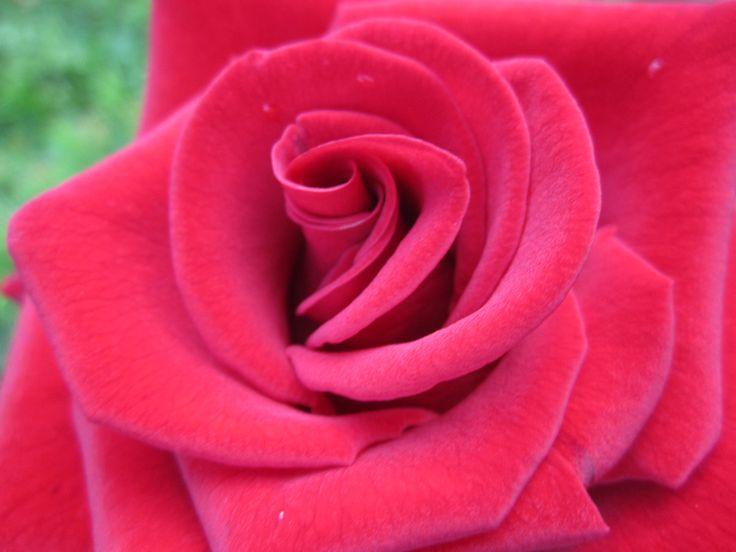 Роза Черная магия Black Magic
