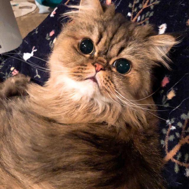 牛乳ではお腹を壊してしまう猫ちゃんも ヤギミルクなら猫が消化しやすい成分で安心です😊🍼 寒がり猫ちゃんもホットヤギミルクで 温まりましょう😸♨️ amazonセール開催中🚩 #ヤギミルク #とれたてヤギミルク  #寒がり猫 #愛猫 #ねこ #にゃんこ #にゃんすたぐらむ #猫好きさんと繋がりたい #ねこ部 #ミルク好き  #子猫 #老猫 #シニア猫 #amazon  #cat #cats #kitty #pet #worldofcutepets #persian #followme  #ナチュラルプラス #naturalplus #naturalps