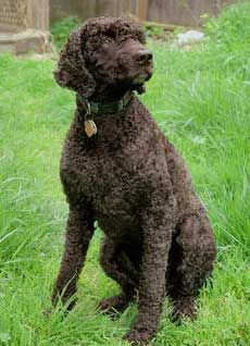 Irish Water Spaniel, great hunting dogs and hypo allergenic.