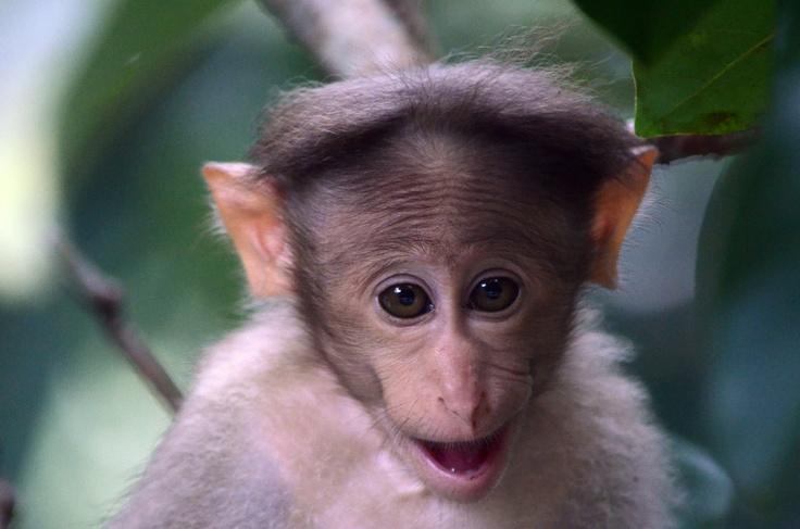 Laughing Monkey Gorilla, Animals, Monkey