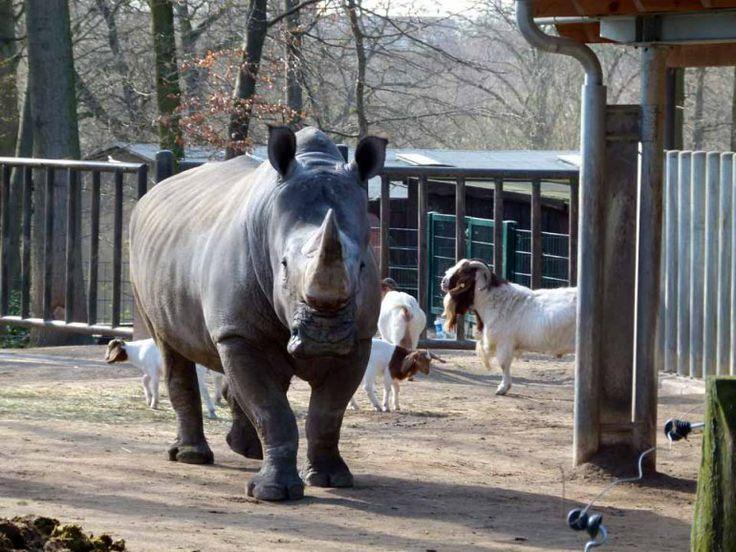 Vorbereitungen für einen Aquarellkurs im Schweriner Zoo | Nashorn im Schweriner Zoo (c) Frank Koebsch