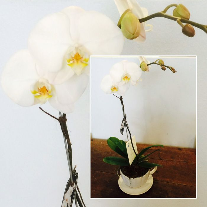 Phalaenopsis Orchid for Mothers day, a great gift for mum! #mothersday #sydney #mum #orchids