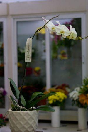 Εντυπωσιακη ορχιδέα τσαρίνα σε λευκό χρώμα, με κεραμική γλάστρα. Κομψή και ιδιαίτερη για να εντυπωσιάσετε τα αγαπημένα σας πρόσωπα.