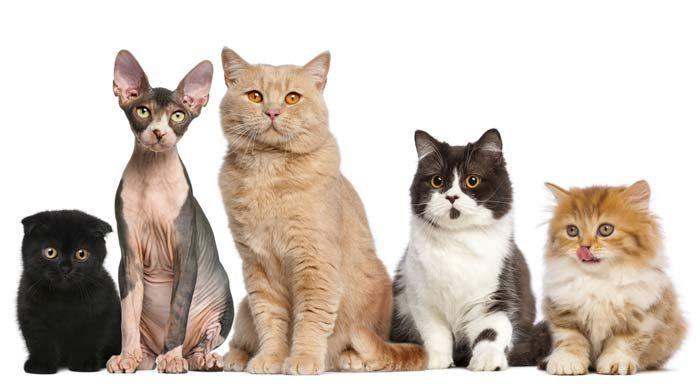 Razas De Gatos Una Increíble Diversidad Las Conoces Todas Razas De Gatos Tipos De Gatos Razas De Gatos Grandes