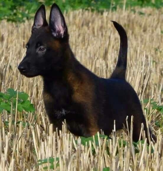 Simplemente hermoso   Belgian malinois puppies, Belgian ...