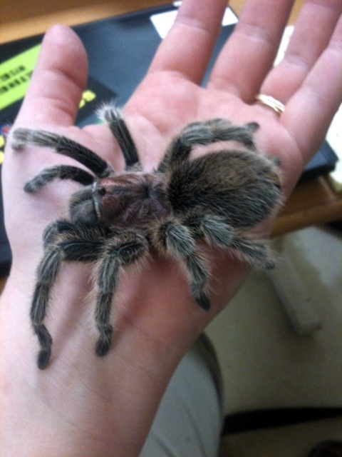 this is the kind of pet tarantula i used to have. a Chilian Rose Hair. R.I.P Cortana
