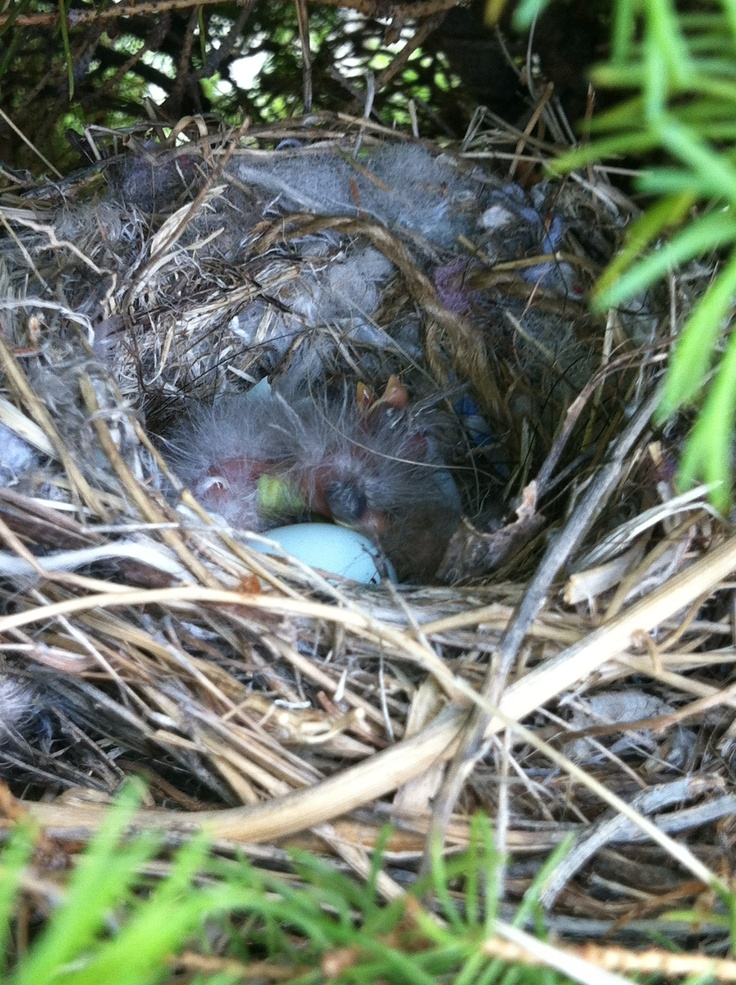 Day 2 of birds hatching. I think 4 of the 6 eggs have hatched. It's hard to tell because  I don't dare touch them. I did count 3 beaks for sure and I seen 2 unhatched eggs. Stay tuned for day 3