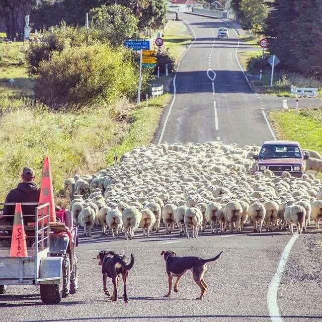 Traffic jam kiwi style.