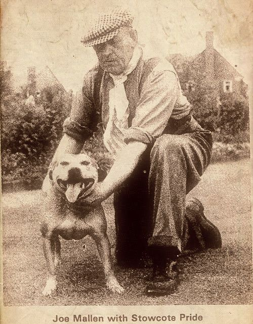 Joe Mallen - Staffordshire Bull Terrier