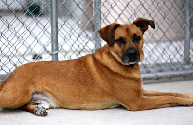 Scout Dog • Labrador Retriever Mix • Adult • Male • Large