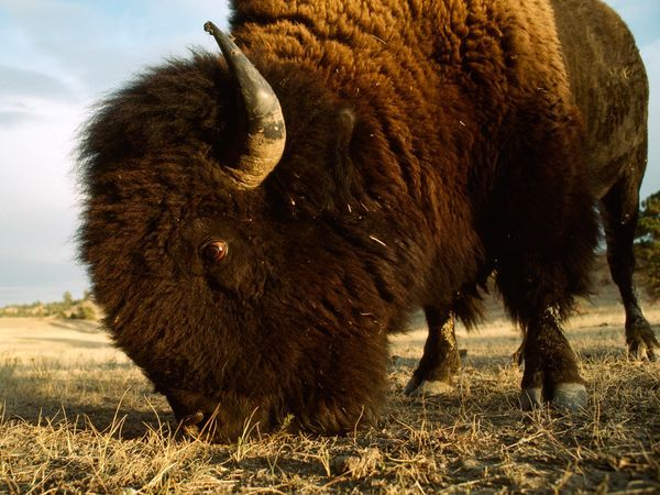 With their large, sharp horns, bison are formidable foes. During mating season, bulls fight for the right to breed with harems of cows, but rarely duel to the death.  Photograph by Sam Abell
