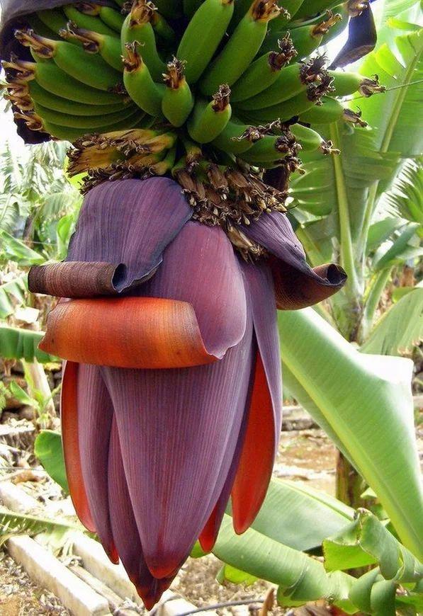 цветы в картинках банан сисяндры, буфера