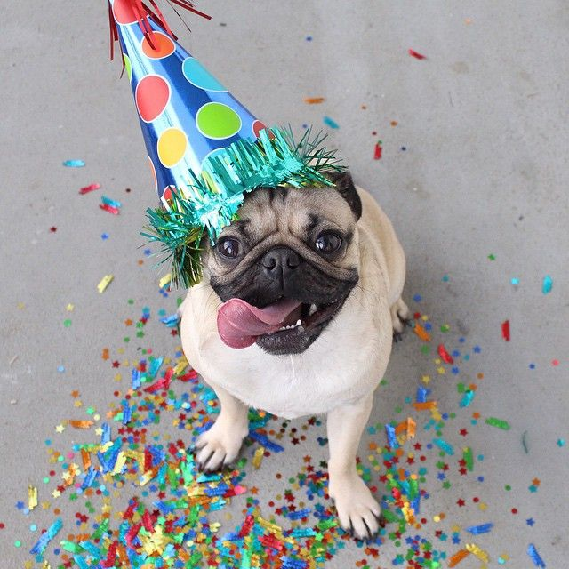 """""""Thanks for all the heartfelt Birthday wishes on my Facebook wall AKA do I know you?"""" -Doug  Today is Doug the Pug's Birthday! #HappyBirthdayDougThePug"""