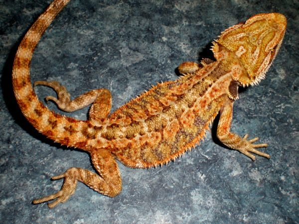 ORANGE GERMAN GIANT X BLOOD BEARDED DRAGON $135 ITEM #GGXB54418 3  MONTHS 8 INCHES FEMALE