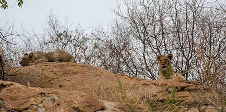 These young cubs were spotted taking it easy on top of these rocks at Shiduli over the weekend, while their mums had left to go and find dinner!