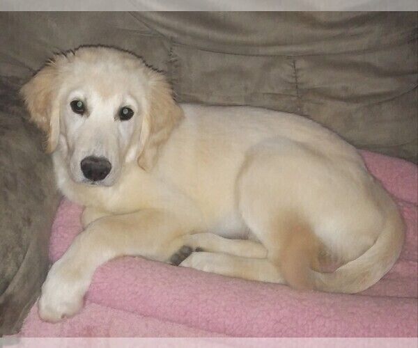 Golden Retriever Puppy For Sale In Tool Tx Usa Adn 1292p Golden
