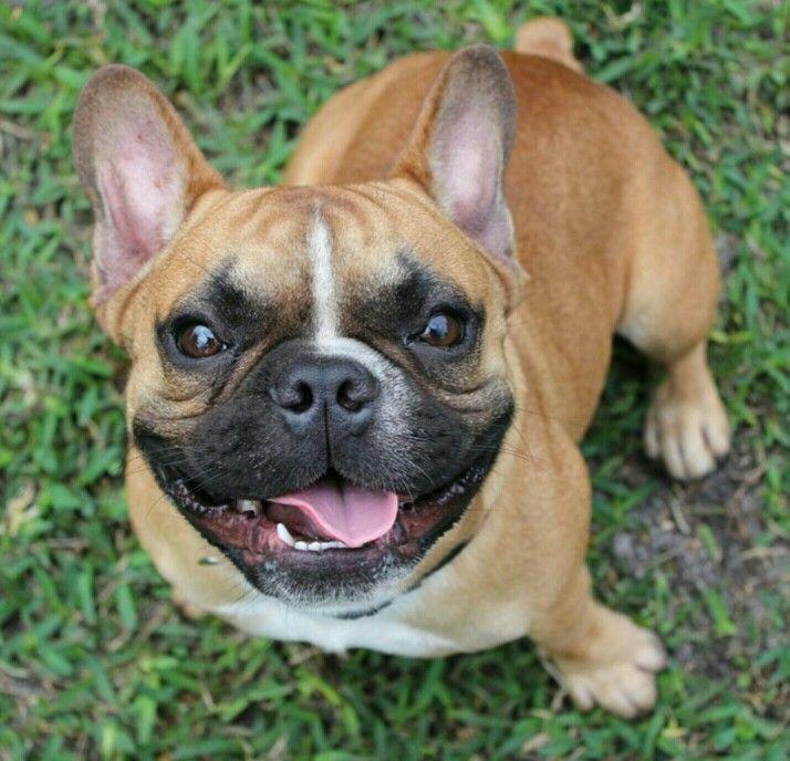Gorgeous French Bulldog
