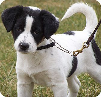 beagle border collie mix - Google Search