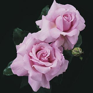 Memorial Day - medium pink, 28-52 petals, 2002, not yet rated by ARS.